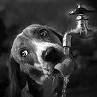 Dehydrated dog drinking from tap