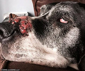 Blisters on a dog's nose caused by Giant Hogweed