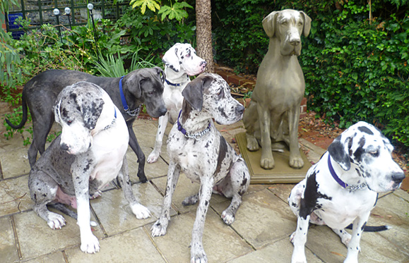 Some of the Great Danes rescued by Daneline